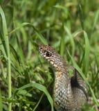 Caspian whip snake Royalty Free Stock Photo
