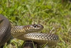 Caspian whip snake Royalty Free Stock Image