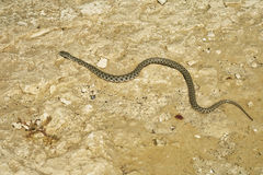 Caspian whip snake. Royalty Free Stock Image