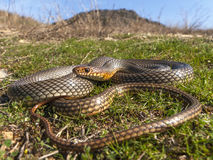 Caspian whip snake. (Dolichophis caspius) in its natural habitat Royalty Free Stock Images