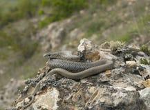 Caspian whip snake sunbathing Stock Photo