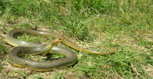 Caspian whipsnake - 1.7 m long Stock Photos