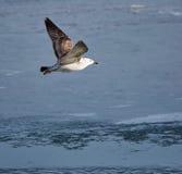 Caspiann gull in flight Royalty Free Stock Photo