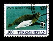 Caspica Cáspio do Phoca do selo, cerca de 1993 Foto de Stock