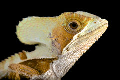 Casque-headed lizard (Corytophanes hernandezii) Royalty Free Stock Photo