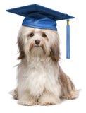 Casquillo azul de la graduación del ingenio havanese eminente lindo del perro imagenes de archivo