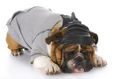 Casquillo de cuero del cráneo del perro que desgasta Imagen de archivo libre de regalías