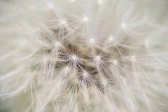 Casquillo de la semilla del diente de león listo para irse volando, Imagen de archivo libre de regalías