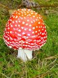 Casquillo del rojo del escarlata Imagen de archivo