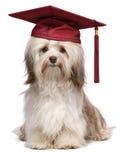 Casquillo havanese del rojo del ingenio del perro de la graduación eminente linda imagenes de archivo