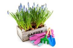 Cassa del giardino con il Muscari e gli strumenti Immagine Stock Libera da Diritti