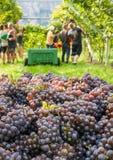 Cassa dell'uva raccolta e file delle viti durante il raccolto dell'uva nel Tirolo/Trentino del sud Alto Adige, Italia del Nord fotografia stock