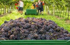 Cassa dell'uva raccolta e file delle viti durante il raccolto dell'uva nel Tirolo/Trentino del sud Alto Adige, Italia del Nord immagine stock libera da diritti