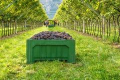 Cassa dell'uva raccolta e file delle viti durante il raccolto dell'uva nel Tirolo/Trentino del sud Alto Adige, Italia del Nord fotografie stock libere da diritti