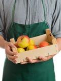 Cassa della tenuta dell'agricoltore con le mele raccolte fresche Immagine Stock