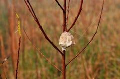 Cassa predante dell'uovo del mantide sul ramo di albero del salice Fotografia Stock