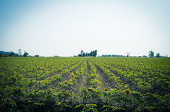 Cassasva farm Royalty Free Stock Photo