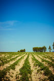 Cassasva farm Royalty Free Stock Image