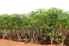 Cassava Royalty Free Stock Photo
