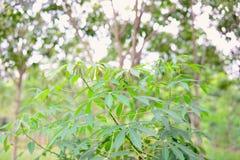 The cassava Royalty Free Stock Photos