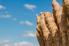 Cassava. On blue sky background Stock Photo