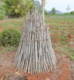 Cassava branch Stock Image