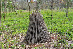 Cassava branch Royalty Free Stock Photography