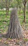 Cassava branch Stock Photo