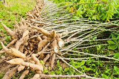 Cassava bulb and cassava tree on ground Stock Images