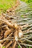 Cassava bulb and cassava tree on ground Royalty Free Stock Photo