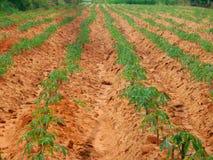 Cassava Stock Images