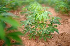 Cassava Royalty Free Stock Images