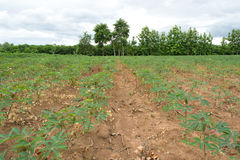 Cassava crop field Royalty Free Stock Photography