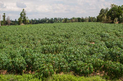 Cassava crop Stock Image