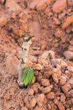 Cassava cuttings plug Royalty Free Stock Image