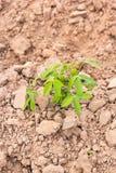 Cassava cuttings plug Stock Images
