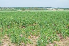 Cassava in eastern of Thailand Stock Photos