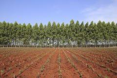 Cassava and Eucalyptus plantation in Thailand Stock Photo