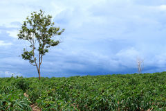 Cassava farm Royalty Free Stock Image