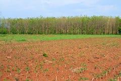 Cassava farm Royalty Free Stock Photography