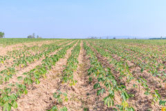 Cassava farm Royalty Free Stock Image
