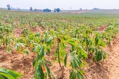 Cassava farm Stock Images