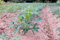 Cassava farm Stock Photography