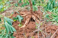 Cassava in farm Stock Images