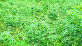 Cassava farm with green leaves and mature trees. Prepare to dig it for processing