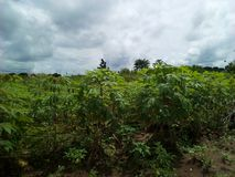 Cassava farm stock images