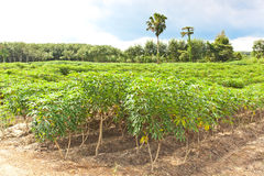 Cassava farm and plant growth Royalty Free Stock Images