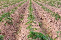 Cassava Farm. Royalty Free Stock Photos