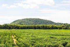 Cassava farming Stock Photo