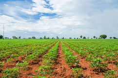 Cassava farmland agriculture Stock Photography